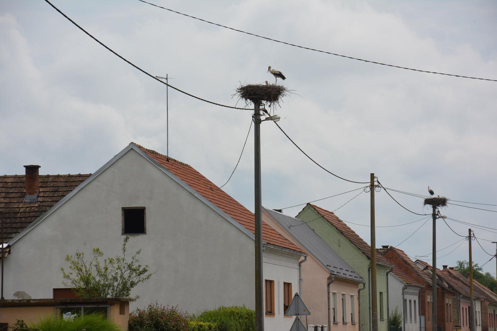 Završen monitoring bijele rode (Ciconia ciconia L.) u Bjelovarsko-bilogorskoj županiji