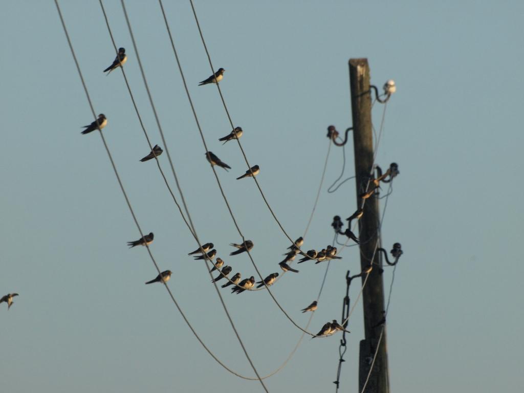 Monitoring lastavica i piljaka u Bjelovarsko bilogorskoj županiji