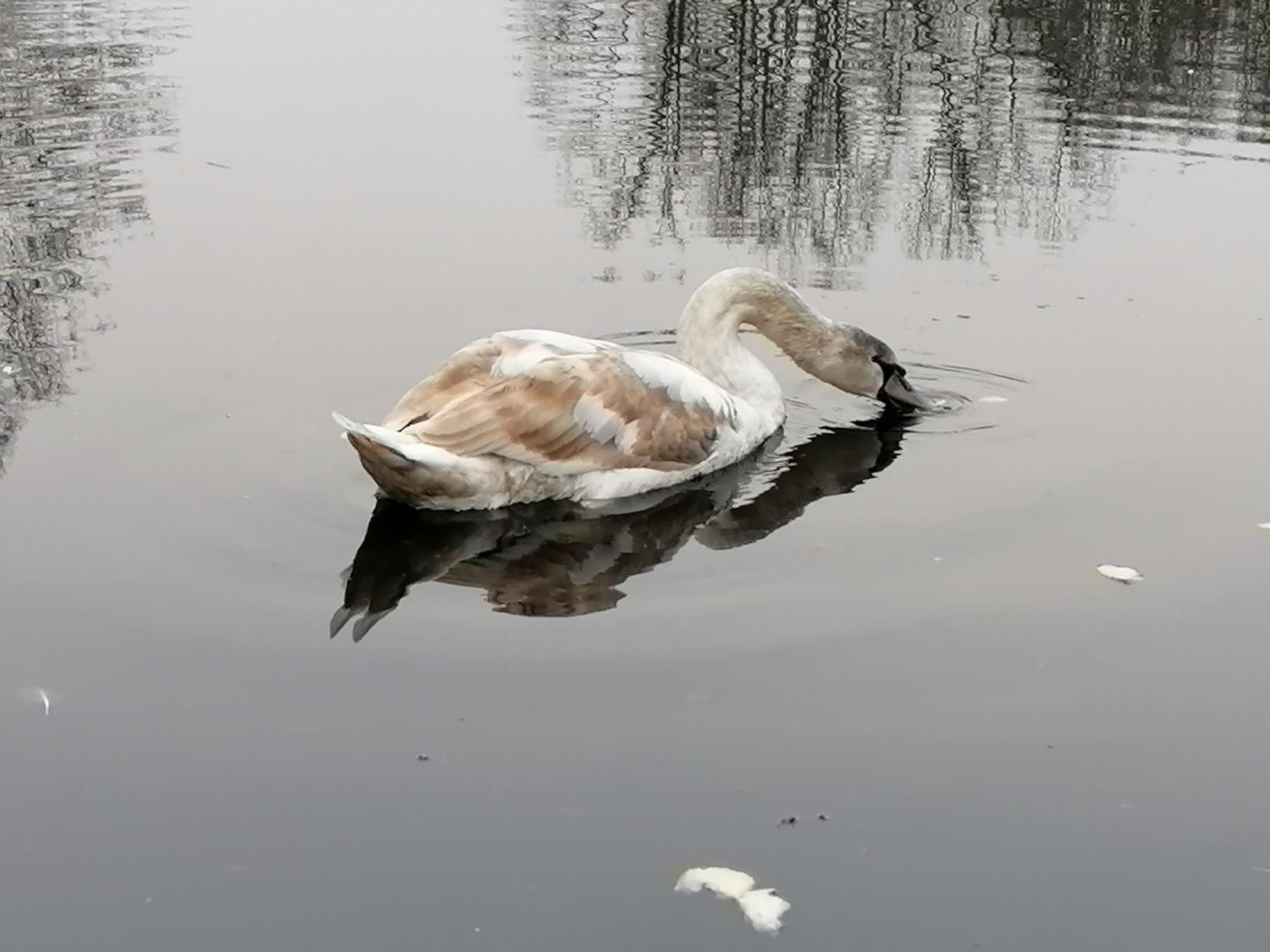 Samostalnost je precijenjena za našeg labuda