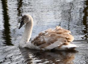 Zbrinuti labud otišao putem samostalnosti